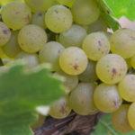 GW_Grapes_2_2500