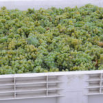 GW_Grapes_Green_2500